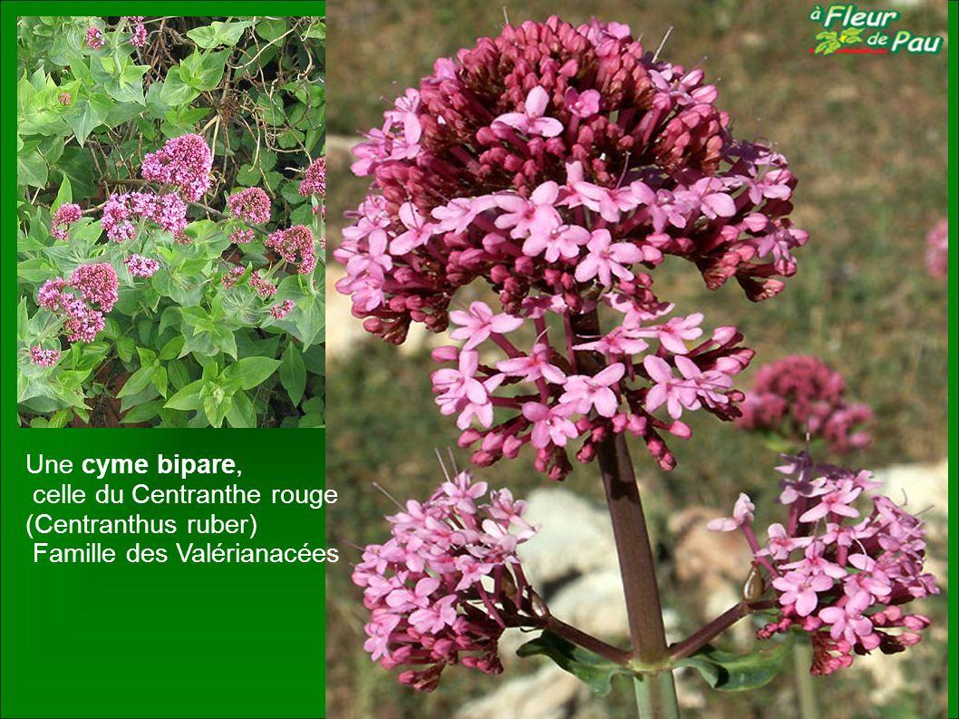 Une cyme bipare, celle du Centranthe rouge (Centranthus ruber) Famille des Valérianacées