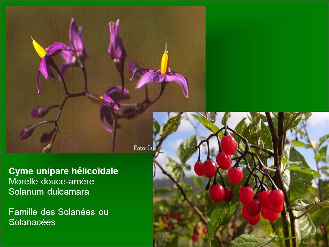 Cyme unipare hélicoïdale Morelle douce-amère Solanum dulcamara Famille des Solanées ou Solanacées