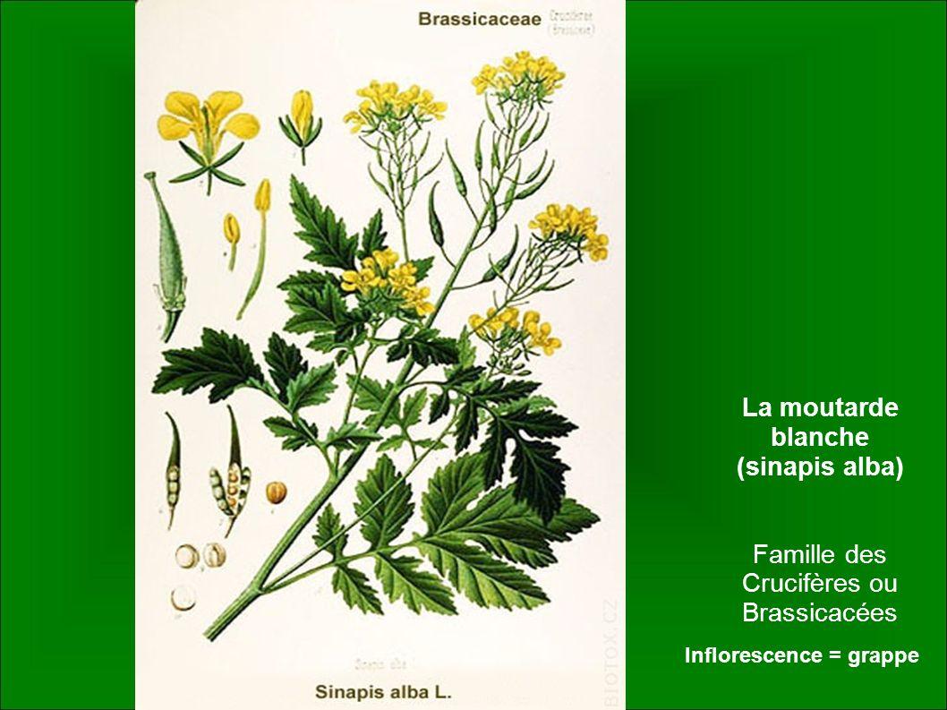 La moutarde blanche (sinapis alba) Famille des Crucifères ou Brassicacées Inflorescence = grappe