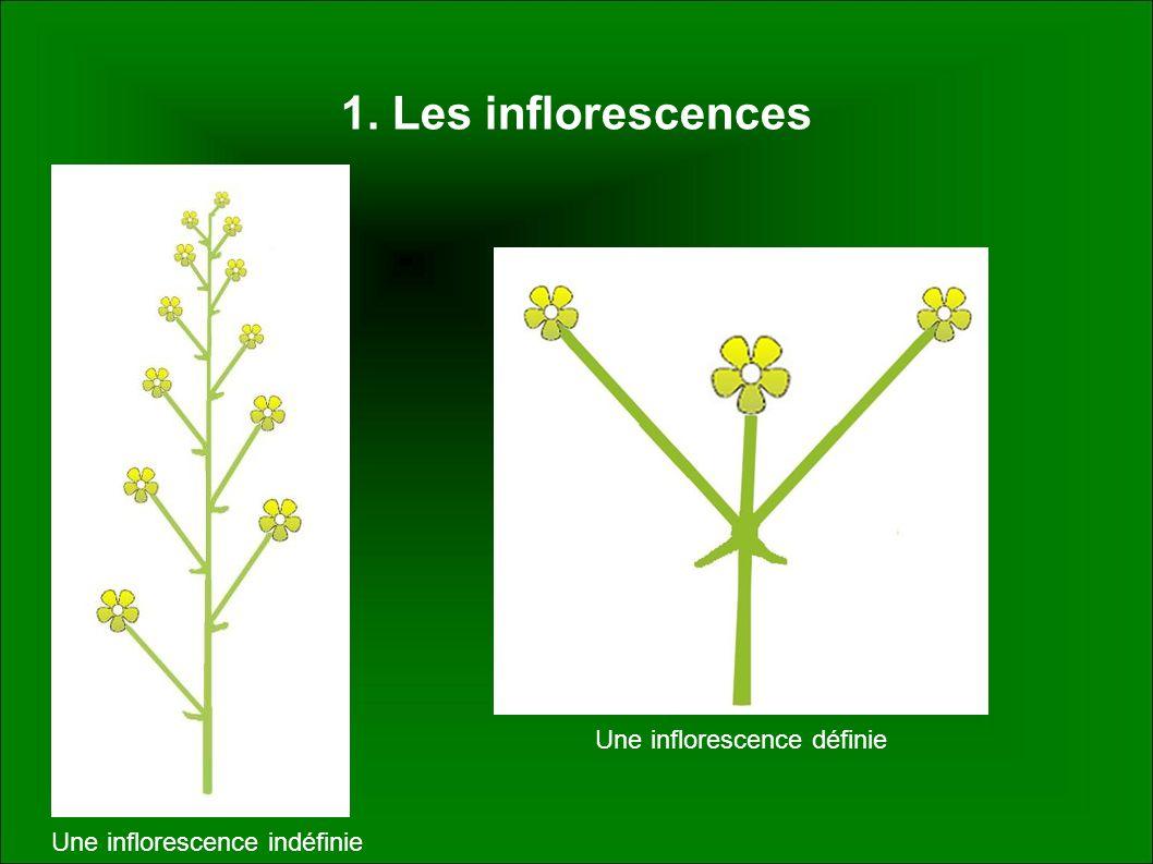 1. Les inflorescences Une inflorescence indéfinie Une inflorescence définie