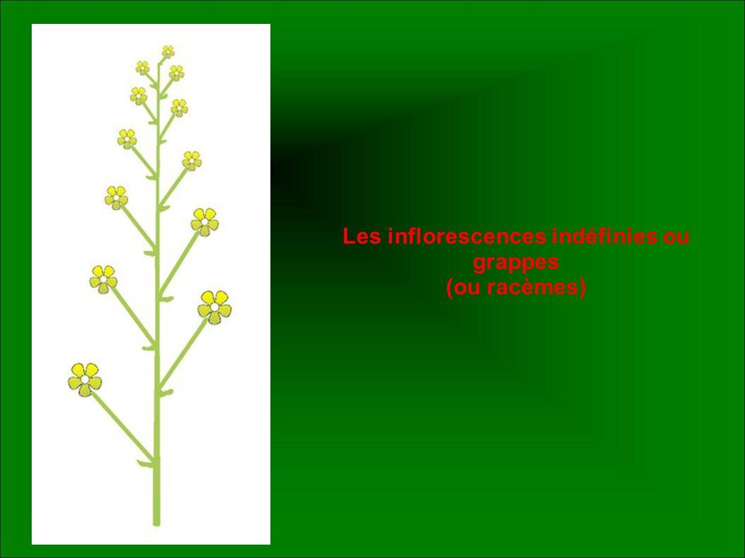 Les inflorescences indéfinies ou grappes (ou racèmes)
