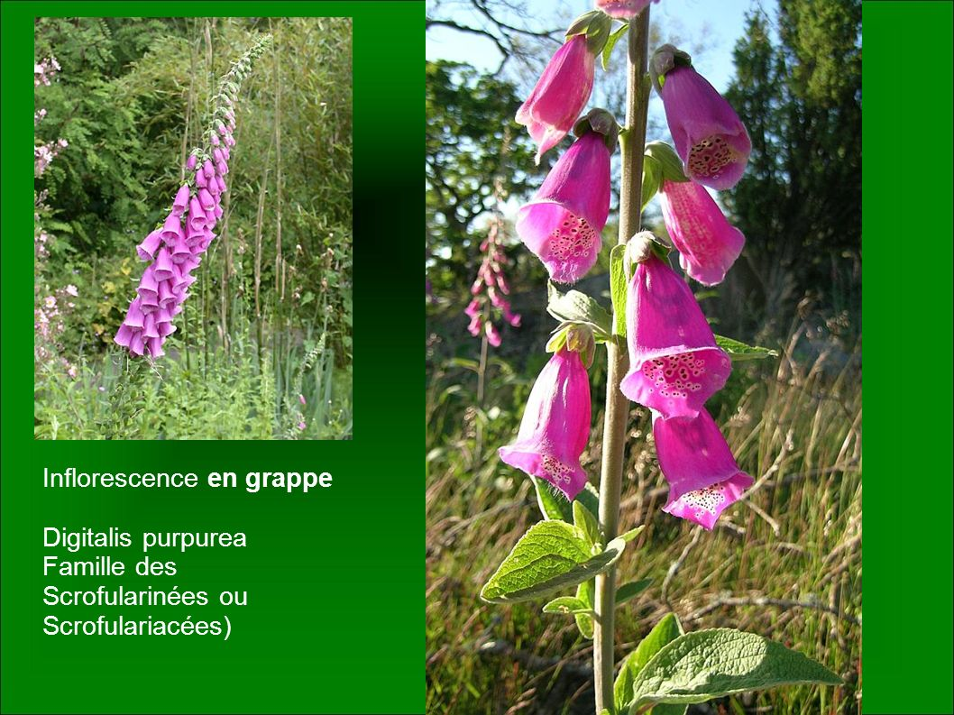 Inflorescence en grappe Digitalis purpurea Famille des Scrofularinées ou Scrofulariacées)