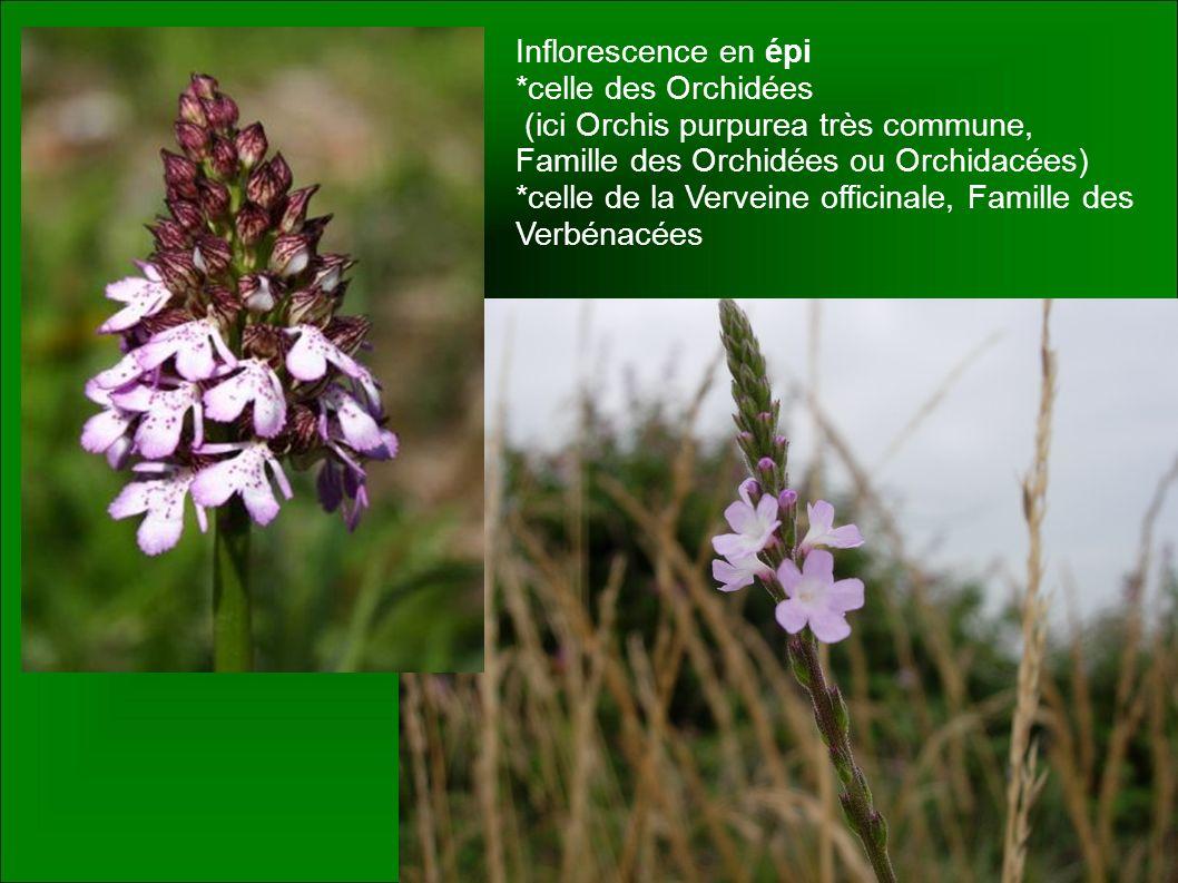 Inflorescence en épi *celle des Orchidées (ici Orchis purpurea très commune, Famille des Orchidées ou Orchidacées) *celle de la Verveine officinale, F