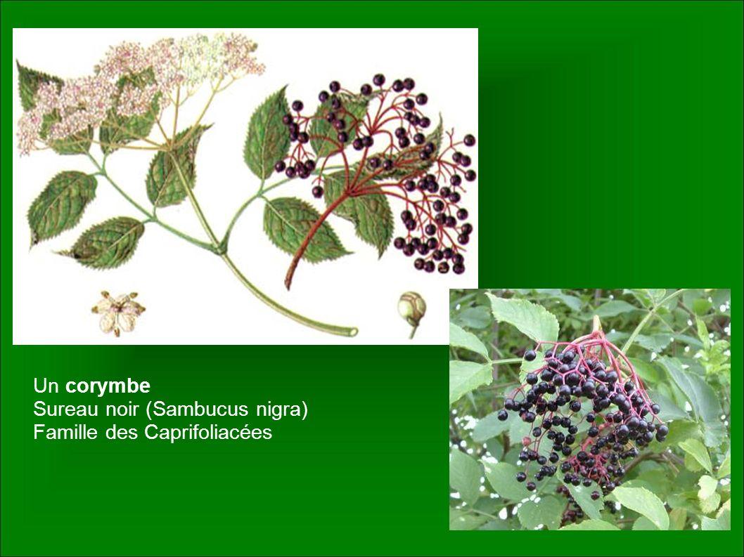 Un corymbe Sureau noir (Sambucus nigra) Famille des Caprifoliacées