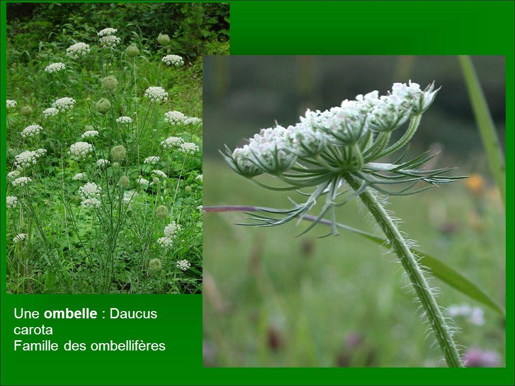 Une ombelle : Daucus carota Famille des ombellifères