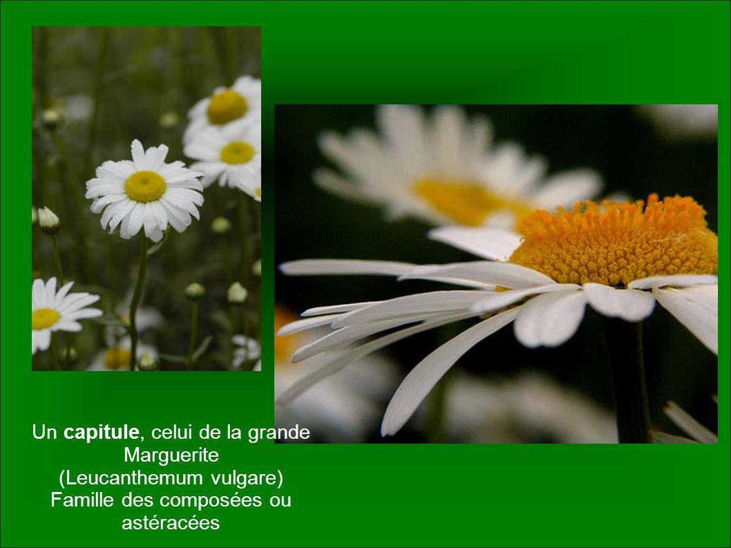 Un capitule, celui de la grande Marguerite (Leucanthemum vulgare) Famille des composées ou astéracées