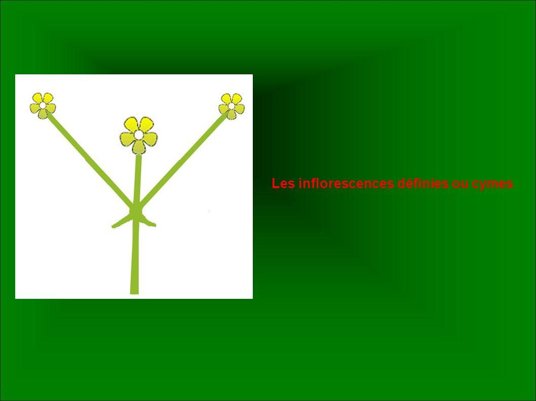 Les inflorescences définies ou cymes