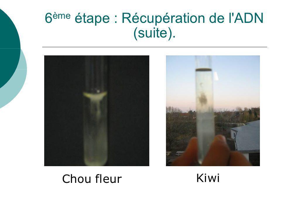 6 ème étape : Récupération de l'ADN (suite). Chou fleur Kiwi