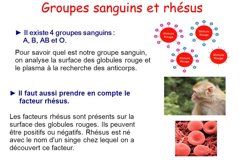Groupes sanguins et rhésus Il existe 4 groupes sanguins : A, B, AB et O. Pour savoir quel est notre groupe sanguin, on analyse la surface des globules
