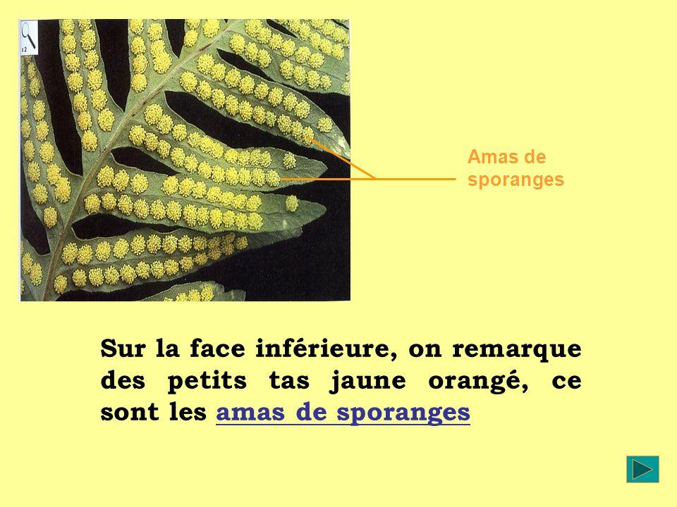 Sur la face inférieure, on remarque des petits tas jaune orangé, ce sont les amas de sporanges Amas de sporanges