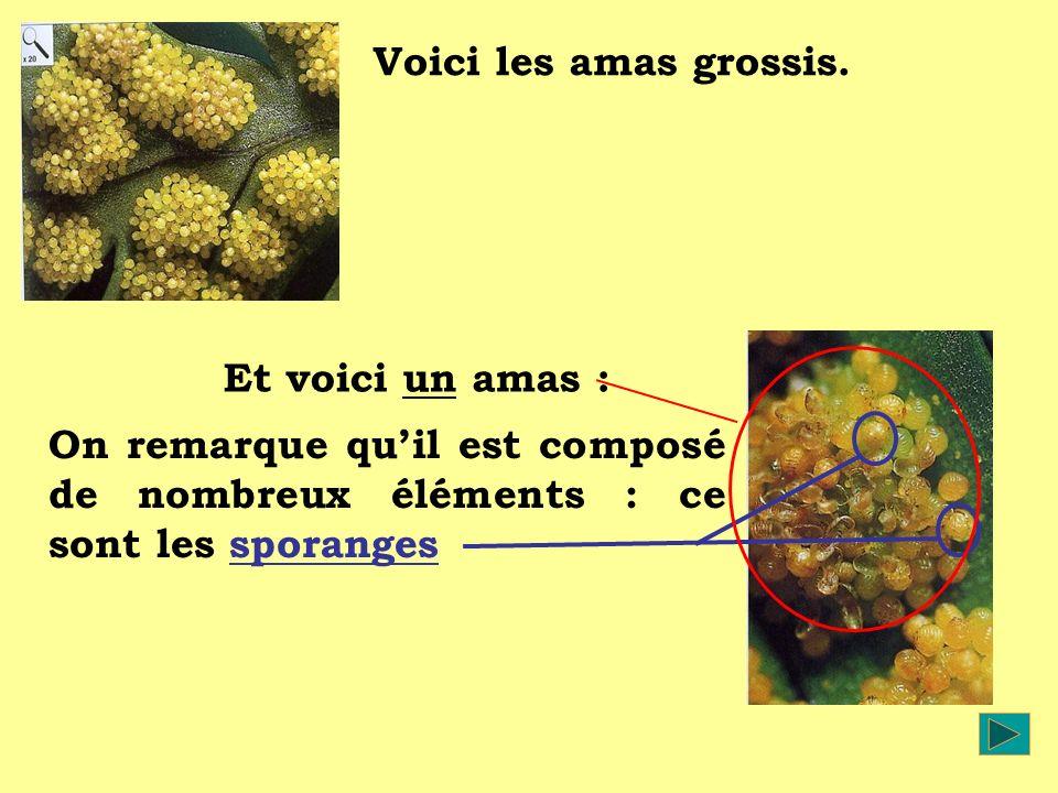 Voici les amas grossis. On remarque quil est composé de nombreux éléments : ce sont les sporanges Et voici un amas :