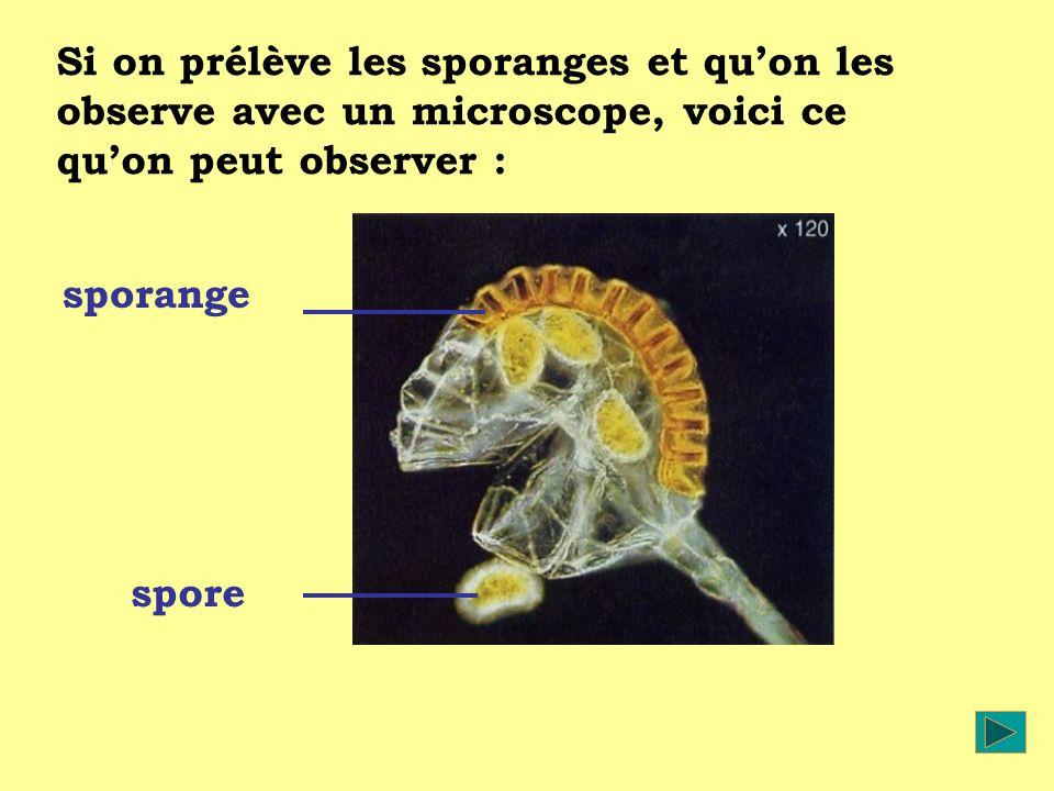 Si on prélève les sporanges et quon les observe avec un microscope, voici ce quon peut observer : sporange spore