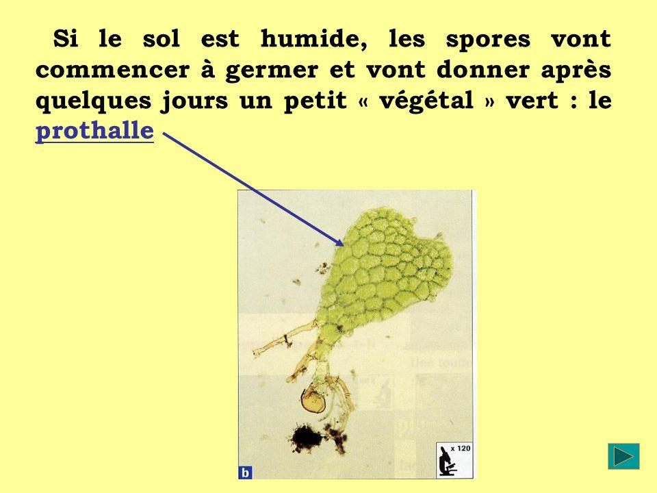 Si le sol est humide, les spores vont commencer à germer et vont donner après quelques jours un petit « végétal » vert : le prothalle