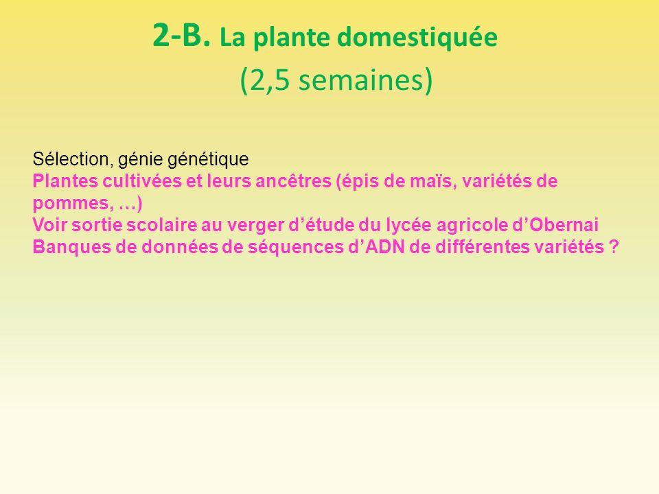 2-B. La plante domestiquée (2,5 semaines) Sélection, génie génétique Plantes cultivées et leurs ancêtres (épis de maïs, variétés de pommes, …) Voir so