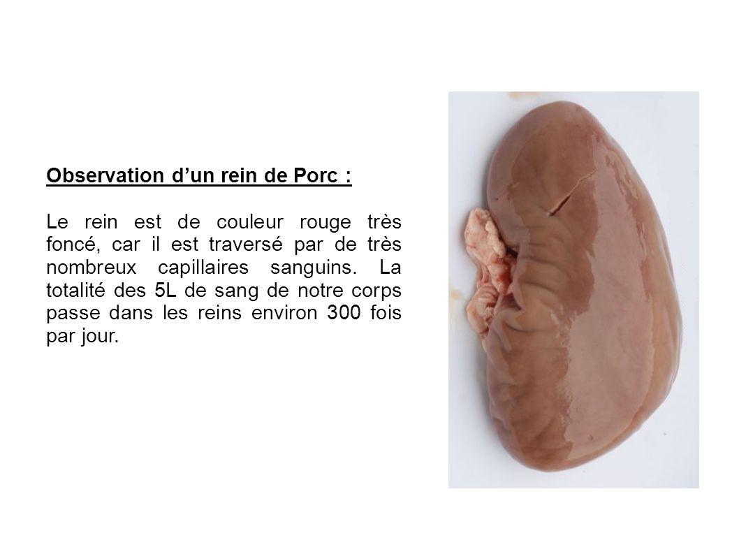 Observation dun rein de Porc : Le rein est de couleur rouge très foncé, car il est traversé par de très nombreux capillaires sanguins. La totalité des