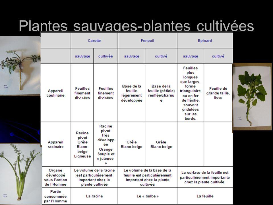 Plantes sauvages-plantes cultivées CarotteFenouilEpinard sauvagecultivéesauvagecultivésauvagecultivé Appareil caulinaire Feuilles finement divisées Ba