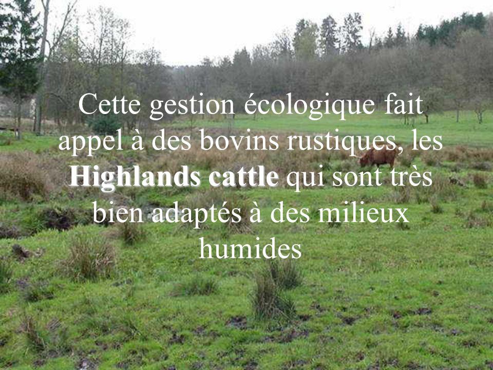 Highlands cattle Cette gestion écologique fait appel à des bovins rustiques, les Highlands cattle qui sont très bien adaptés à des milieux humides