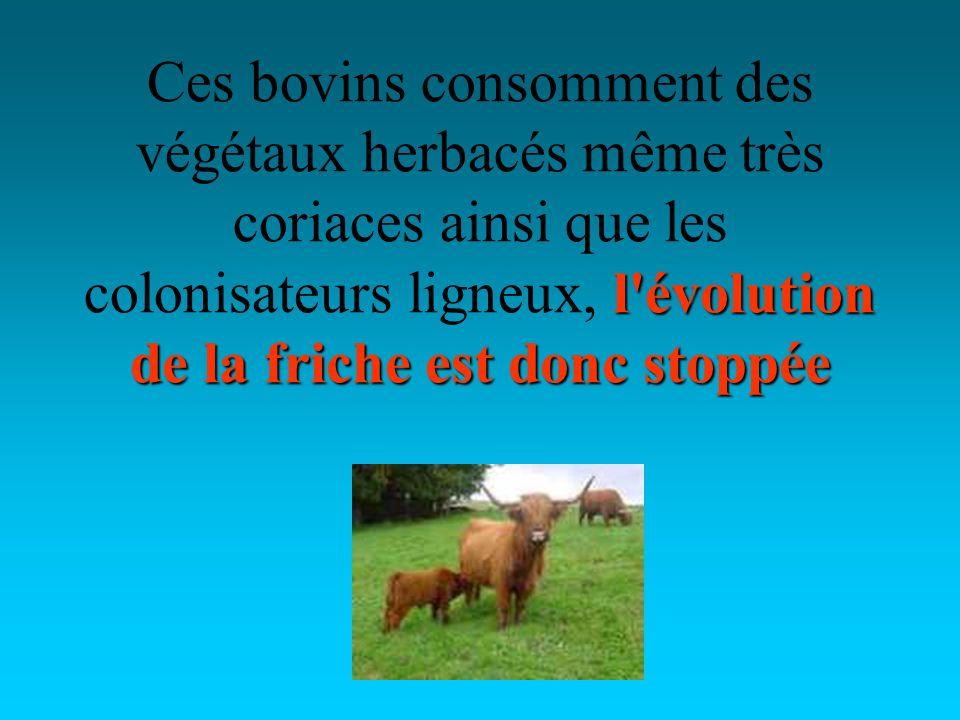 l évolution de la friche est donc stoppée Ces bovins consomment des végétaux herbacés même très coriaces ainsi que les colonisateurs ligneux, l évolution de la friche est donc stoppée