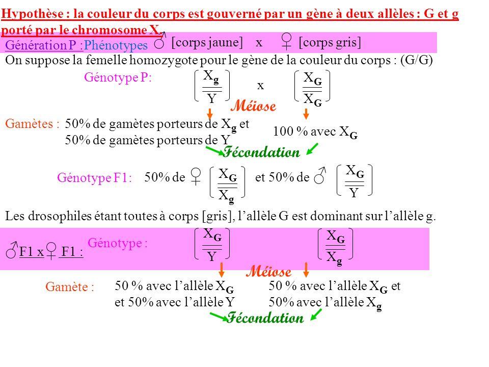 F1 x F1 : Génotype : Méiose Gamète : 50 % avec lallèle X G et 50% avec lallèle Y 50 % avec lallèle X G et 50% avec lallèle X g Hypothèse : la couleur du corps est gouverné par un gène à deux allèles : G et g porté par le chromosome X.