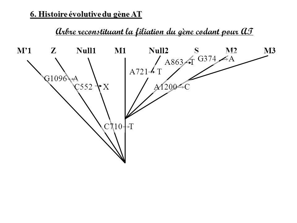 6. Histoire évolutive du gène AT Arbre reconstituant la filiation du gène codant pour AT M1ZNull1M1Null2SM2M3 G1096 C710T A C552X A721T A1200C A863T G