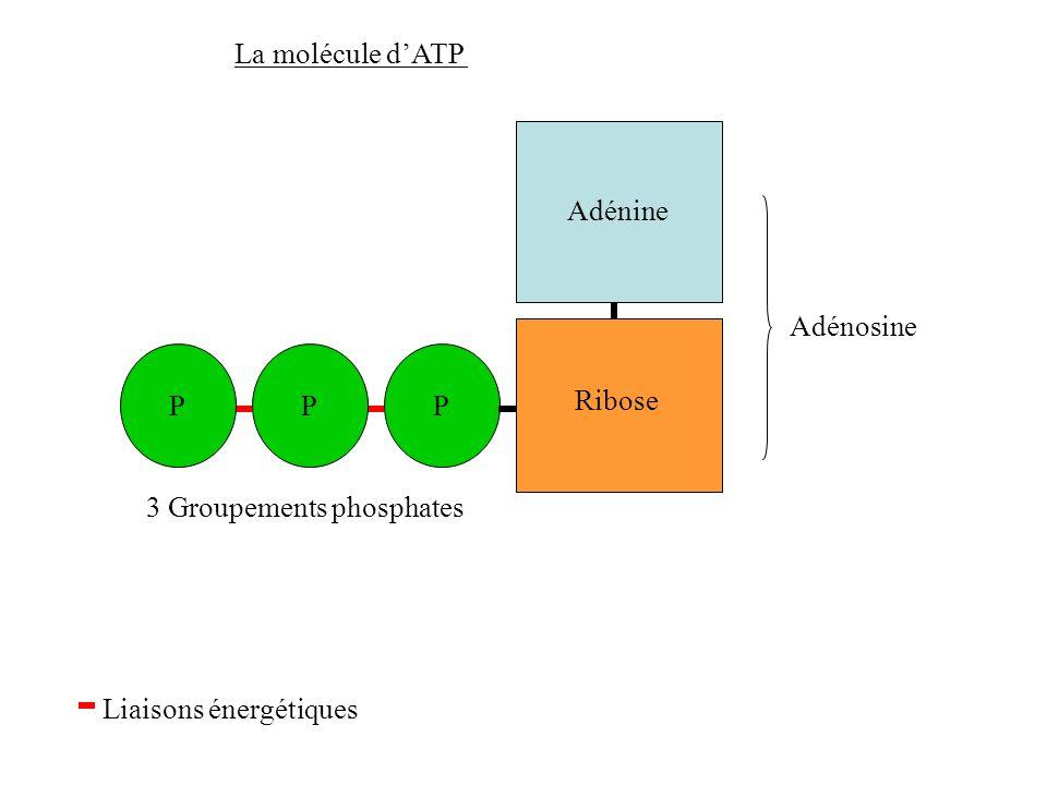 La molécule dATP Adénine Adénosine 3 Groupements phosphates Liaisons énergétiques Ribose PPP