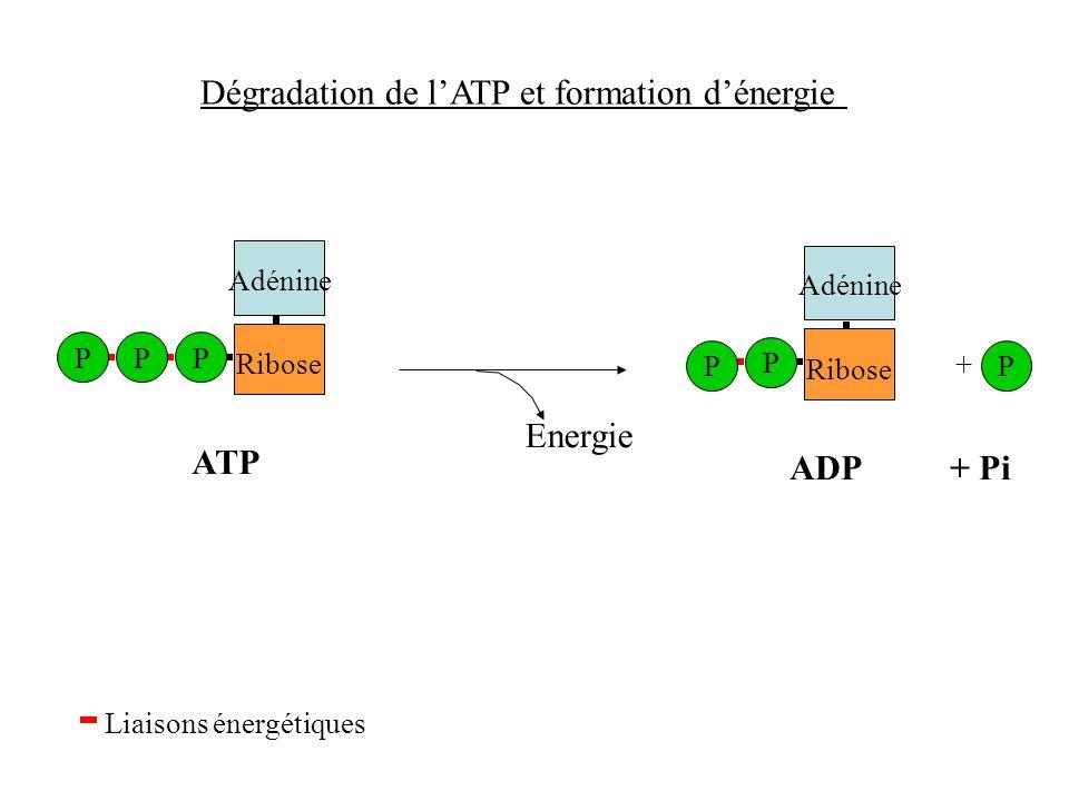 Dégradation de lATP et formation dénergie Adénine Liaisons énergétiques Ribose PPP ATP ADP + Pi Adénine Ribose P P P + Energie