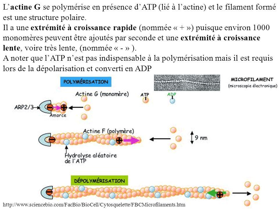 Lactine G se polymérise en présence dATP (lié à lactine) et le filament formé est une structure polaire. Il a une extrémité à croissance rapide (nommé