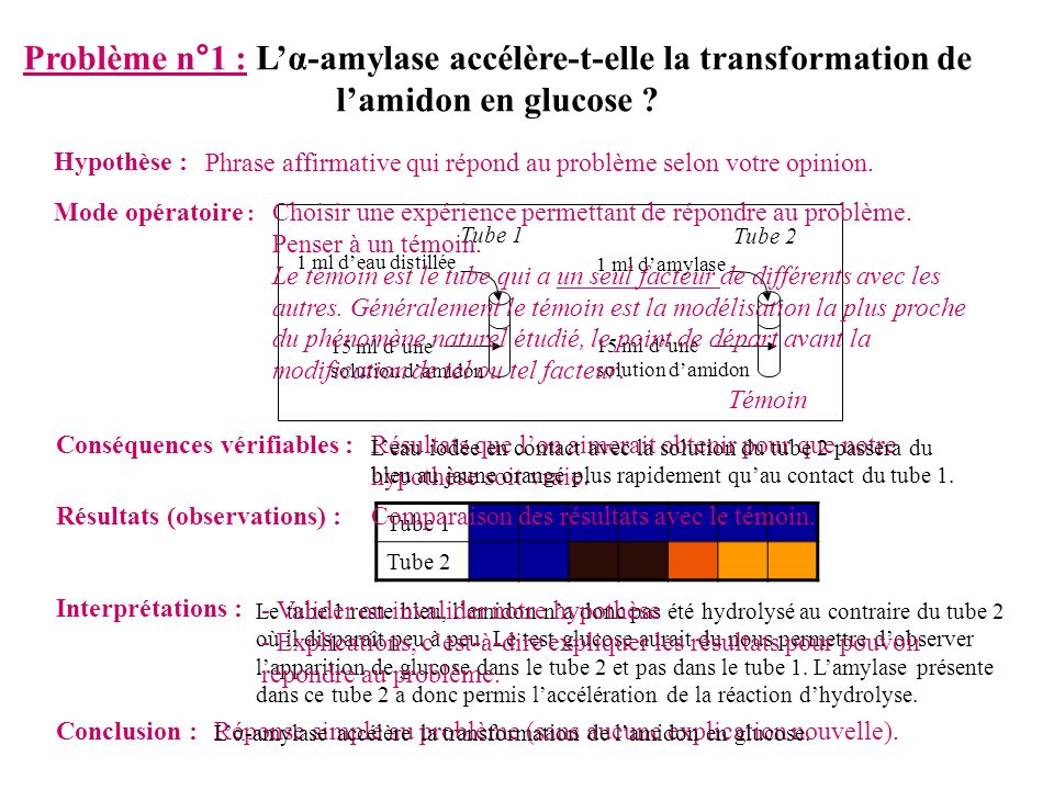 Lα-amylase accélère la transformation de lamidon en glucose.