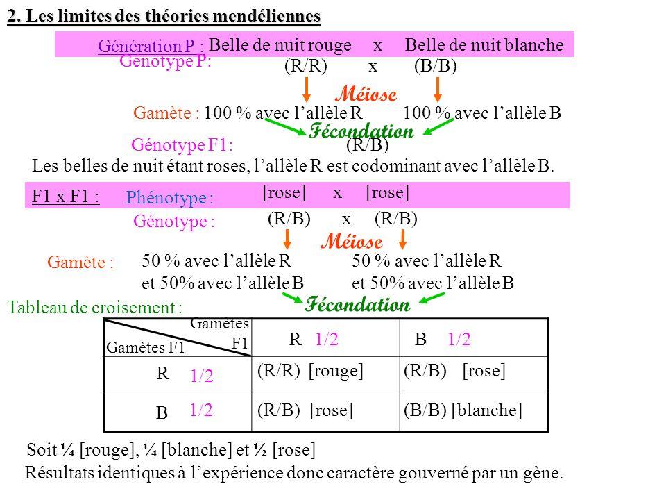 Gamète :100 % avec lallèle R Génération P : Belle de nuit rouge x Belle de nuit blanche Génotype P: (R/R) x (B/B) Méiose 100 % avec lallèle B Fécondat