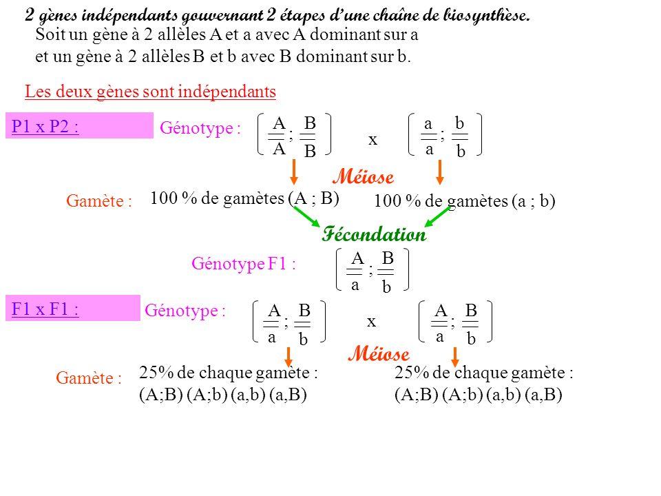 Gamète : 100 % de gamètes (A ; B) 2 gènes indépendants gouvernant 2 étapes dune chaîne de biosynthèse. Soit un gène à 2 allèles A et a avec A dominant