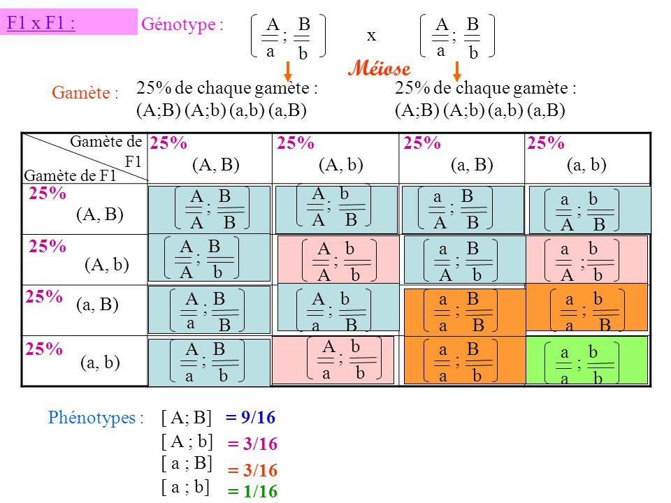F1 x F1 : Génotype : Méiose A a B b ; A a B b ;x 25% de chaque gamète : (A;B) (A;b) (a,b) (a,B) Gamète : 25% de chaque gamète : (A;B) (A;b) (a,b) (a,B