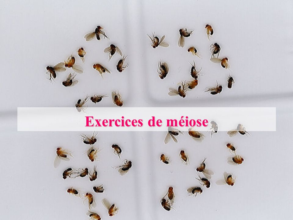Exercices de méiose