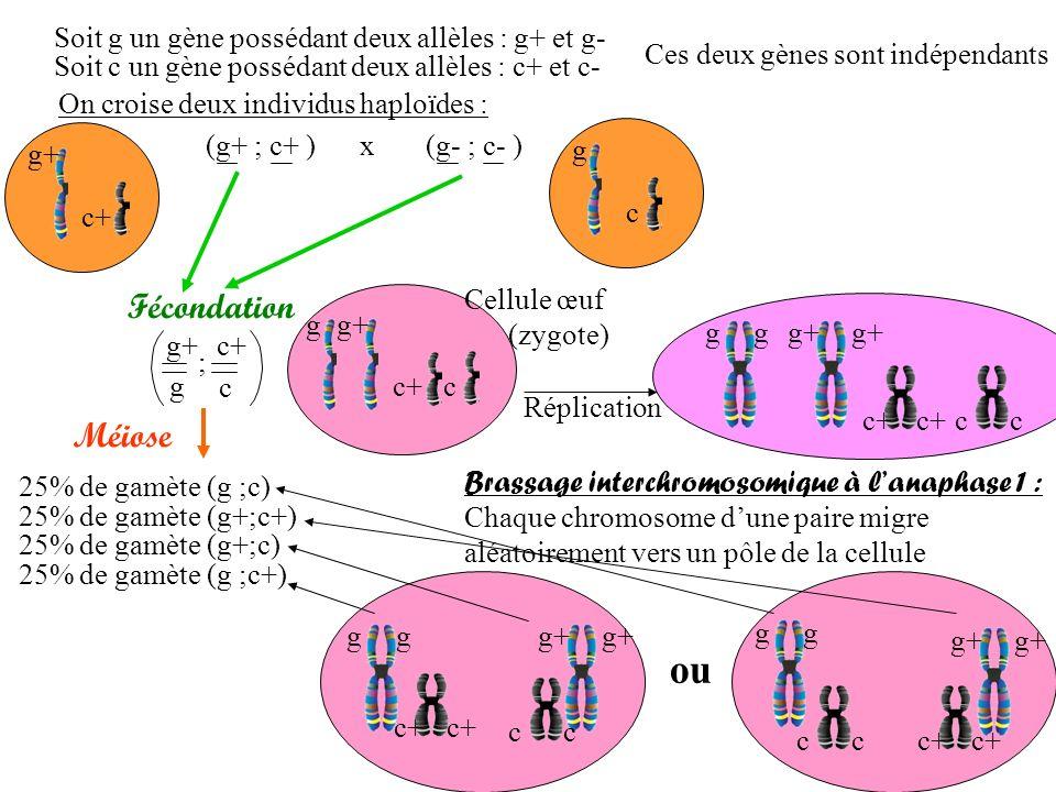 Soit g un gène possédant deux allèles : g+ et g- Soit c un gène possédant deux allèles : c+ et c- On croise deux individus haploïdes : (g+ ; c+ ) x (g- ; c- ) Ces deux gènes sont indépendants Fécondation g+ g c+ c ; Méiose 25% de gamète (g ;c) 25% de gamète (g+;c+) 25% de gamète (g+;c) 25% de gamète (g ;c+) g+ c+ g c g c g+ Cellule œuf (zygote) Brassage interchromosomique à lanaphase 1 : Chaque chromosome dune paire migre aléatoirement vers un pôle de la cellule Réplication gg+g c+c c ou gg gg g+ c+ cc cc