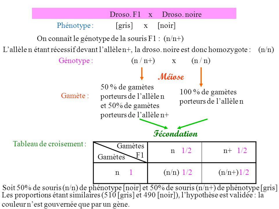 Gamète : 50 % de gamètes porteurs de lallèle n et 50% de gamètes porteurs de lallèle n+ Droso.