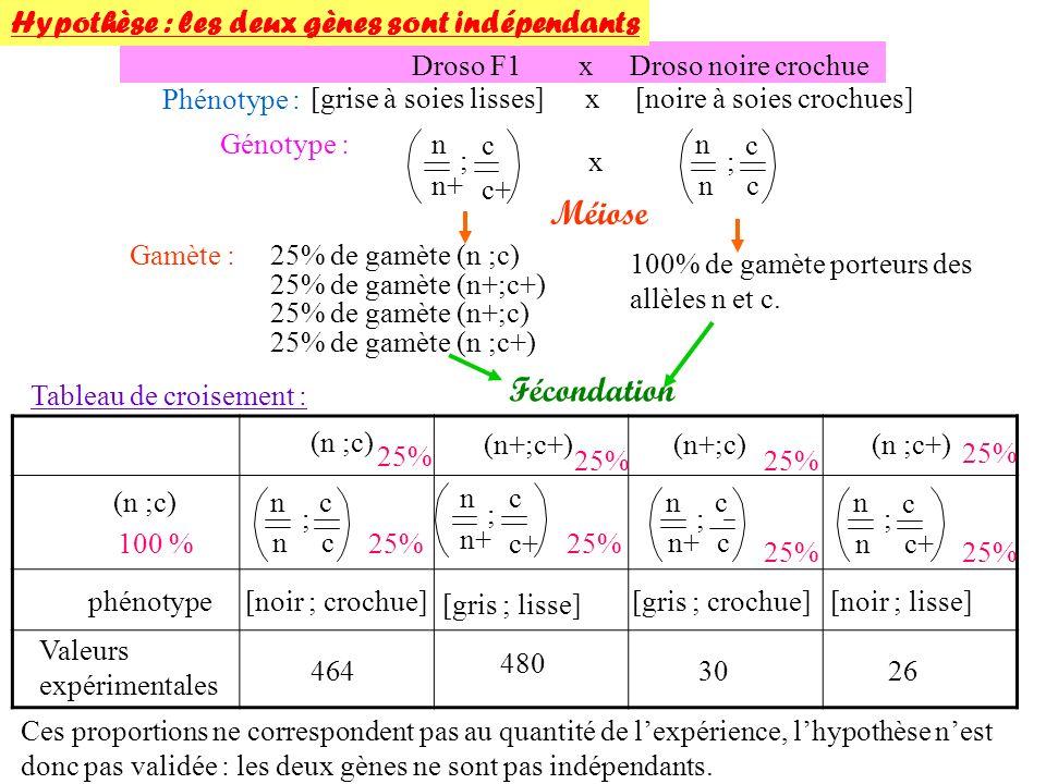 25% de gamète (n ;c+) Droso F1 x Droso noire crochue Phénotype : [grise à soies lisses] x [noire à soies crochues] Génotype : Méiose n n+ c c+ ; n n c c ;x Hypothèse : les deux gènes sont indépendants 25% de gamète (n ;c)Gamète : 25% de gamète (n+;c+) 25% de gamète (n+;c) 100% de gamète porteurs des allèles n et c.