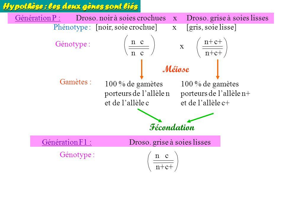 Gamètes : 100 % de gamètes porteurs de lallèle n et de lallèle c Génération P : Droso.
