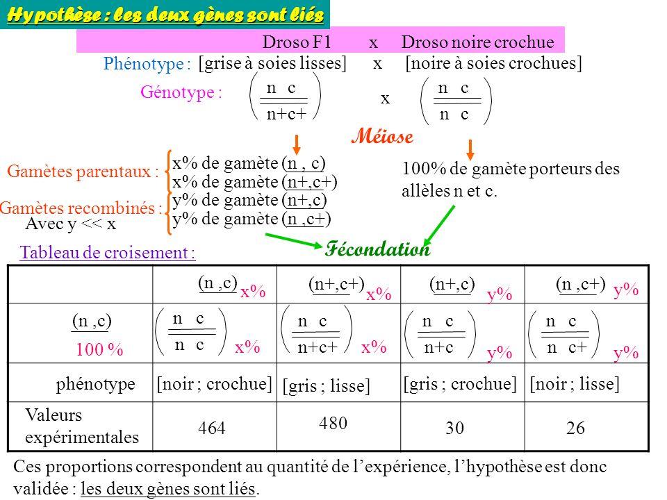 Droso F1 x Droso noire crochue Phénotype : [grise à soies lisses] x [noire à soies crochues] Génotype : Méiose x% de gamète (n, c) Gamètes parentaux : x% de gamète (n+,c+) y% de gamète (n+,c) y% de gamète (n,c+) 100% de gamète porteurs des allèles n et c.