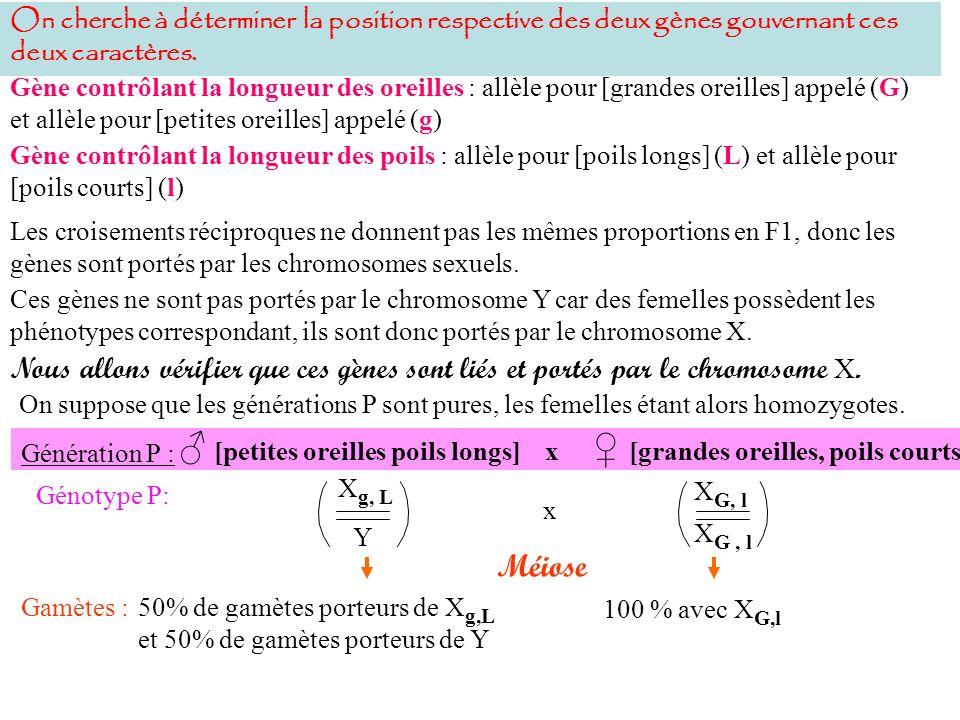 Gamètes :50% de gamètes porteurs de X g,L et 50% de gamètes porteurs de Y Génération P : Génotype P: x Méiose 100 % avec X G,l X G, l X g, L Y [petites oreilles poils longs] x [grandes oreilles, poils courts] 50% de et 50% de Fécondation Génotype F1: F1 x F1 Méiose Gamètes :50 % de gamètes porteurs de X G,l et 50% avec Y Une majorité de gamètes parentaux en même proportion : X g,L et X G,l et une minorité de gamètes recombinés en même proportion : X g,l et X G,L X G, l Y X g, L X G, l Les femelles hétérozygotes sont de phénotype [grandes oreilles et poils longs], lallèle G et lallèle L sont donc dominants sur les allèles g et l.