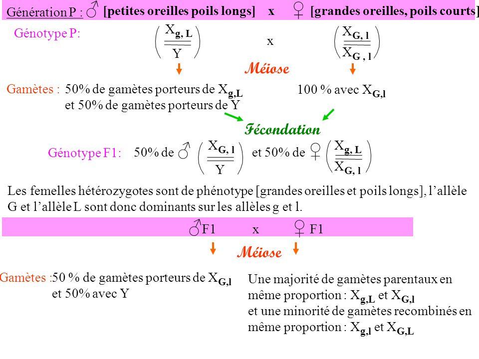 F1 x F1 Méiose Gamètes :50 % de gamètes porteurs de X G,l et 50% avec Y Une majorité de gamètes parentaux en même proportion : X g,L et X G,l et une minorité de gamètes recombinés en même proportion : X g,l et X G,L X g,L X G,l X g,l X G,L X G, l Y 50% Majoritaires Minoritaires X g,L X G,l X g,l X G,l X G,L X G,l X g,L Y X G,l Y X g,l Y X G,L Y Fécondation [G,L][G,l] [G,L] [g,L][G,l][g,l][G,L]