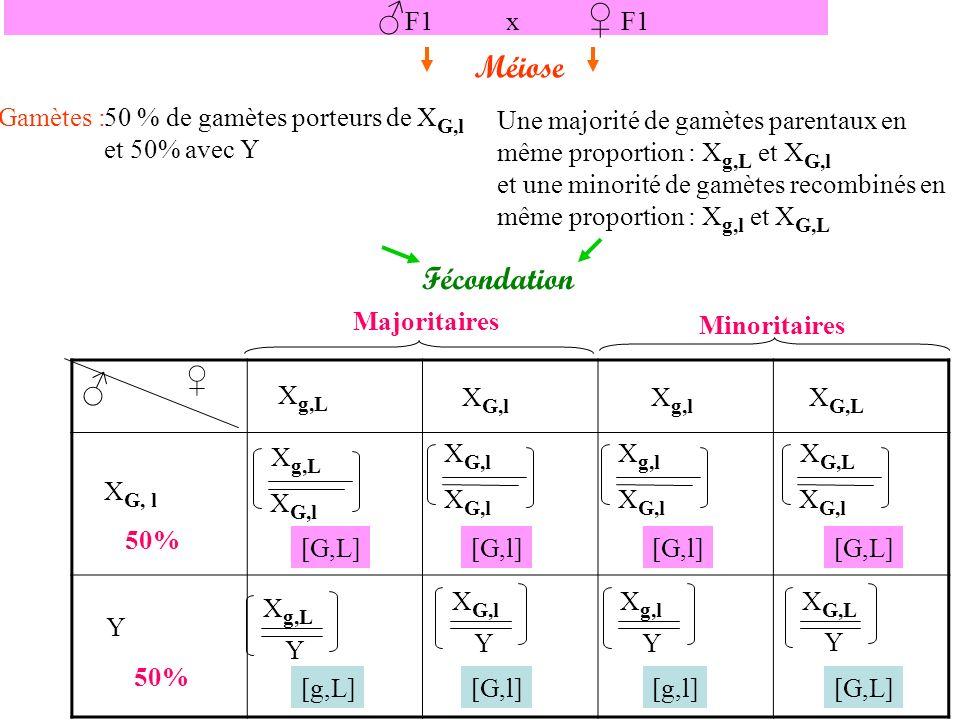 X g,L X G,l X g,l X G,L X G, l Y 50% Majoritaires Minoritaires X g,L X G,l X g,l X G,l X G,L X G,l X g,L Y X G,l Y X g,l Y X G,L Y [G,L][G,l] [G,L] [g,L][G,l][g,l][G,L] : égales proportions de [G,L] et [G,l] : majorité en égales proportions de [g,L] et [G,l] et une minorité en égales proportions de [g,l] et [G,L] Résultats théoriques (du tableau) : Résultats expérimentaux : 25 et 25 20 et 20 5 et 5 Les résultats expérimentaux étant similaires, notre hypothèse est validée : les 2 gènes sont liés et portés par le chromosome X.