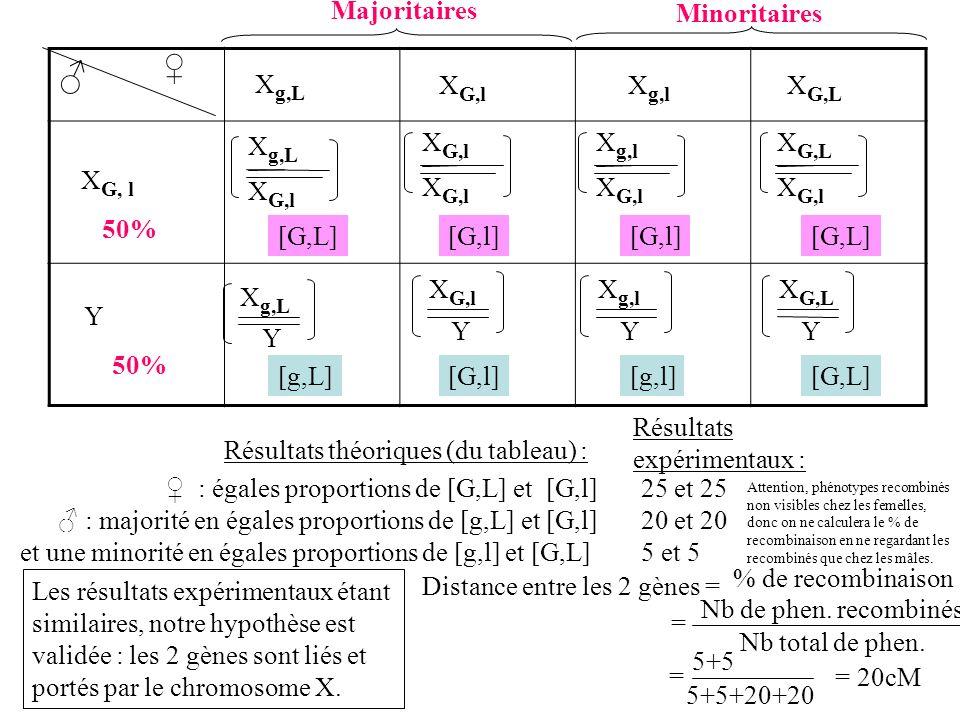 F1 x F1 Méiose Gamètes :50 % de gamètes porteurs de X G,l et 50% avec Y x% de gamète X g,L et x% X G,l et y% de X g,l et y% X G,L X g,L X G,l X g,l X G,L X G, l Y 50% X g,L X G,l X g,l X G,l X G,L X G,l X g,L Y X G,l Y X g,l Y X G,L Y Fécondation [G,L][G,l] [G,L] [g,L][G,l][g,l][G,L] Autre version du croisement, avec le % sous forme de x, y.