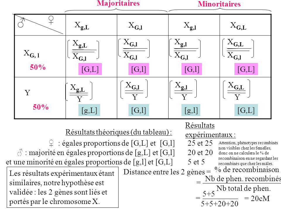 X g,L X G,l X g,l X G,L X G, l Y 50% Majoritaires Minoritaires X g,L X G,l X g,l X G,l X G,L X G,l X g,L Y X G,l Y X g,l Y X G,L Y [G,L][G,l] [G,L] [g