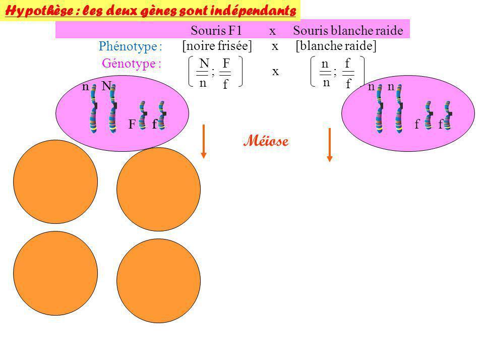 Souris F1 x Souris blanche raide Phénotype : [noire frisée] x [blanche raide] Génotype : Méiose N n F f ; n n f f ;x n N n f n f n F f N Ff Hypothèse