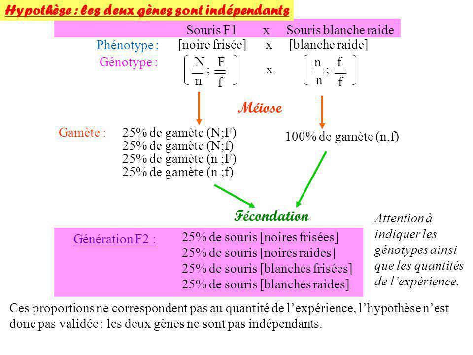 Souris F1 x Souris blanche raide Phénotype : [noire frisée] x [blanche raide] Génotype : Méiose N n F f ; n n f f ;x 25% de gamète (N;F)Gamète : 25% d