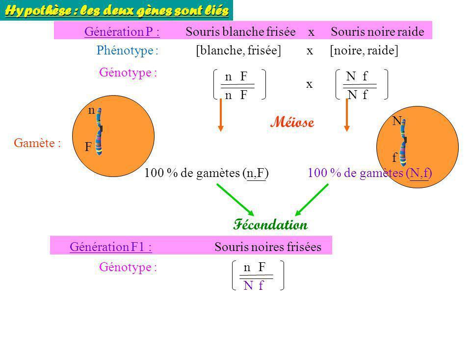 Génotype : n n F F Génération P : Souris blanche frisée x Souris noire raide Phénotype : [blanche, frisée] x [noire, raide] N N f f x Gamète : 100 % d