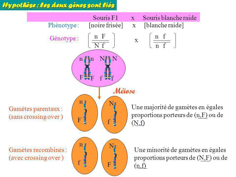 Souris F1 x Souris blanche raide Phénotype : [noire frisée] x [blanche raide] Génotype : n N F f n n f f x nNnN F fFf Méiose Gamètes parentaux : (sans