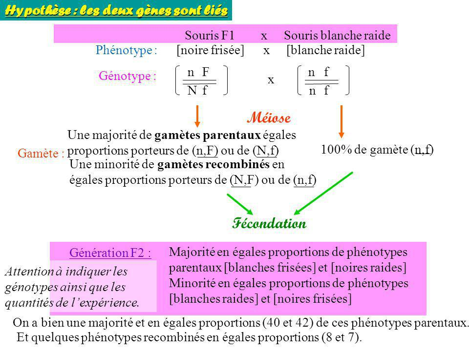 Souris F1 x Souris blanche raide Phénotype : [noire frisée] x [blanche raide] Génotype : n N F f n n f f x Méiose Gamète : 100% de gamète (n,f) Fécond
