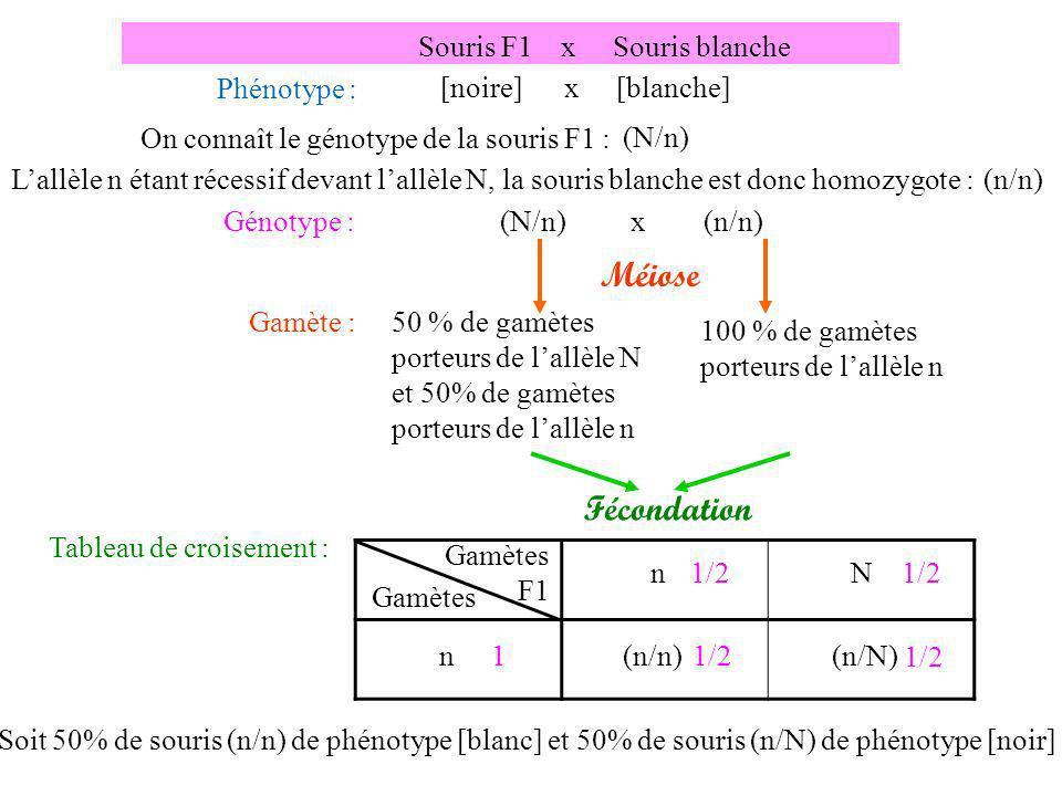 Souris F1 x Souris blanche raide Phénotype : [noire frisée] x [blanche raide] Génotype : Méiose N n F f ; n n f f ;x 25% de gamète (N;F)Gamète : 25% de gamète (N;f) 25% de gamète (n ;F) 25% de gamète (n ;f) 100% de gamète (n,f) Fécondation Génération F2 : 25% de souris [noires frisées] 25% de souris [noires raides] 25% de souris [blanches frisées] 25% de souris [blanches raides] Ces proportions ne correspondent pas au quantité de lexpérience, lhypothèse nest donc pas validée : les deux gènes ne sont pas indépendants.