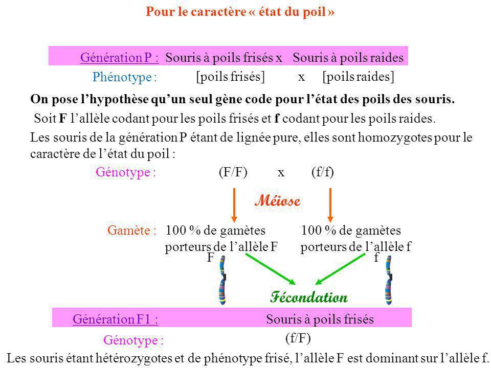 Fécondation 50% de souris (f/f) et 50% de souris (f/F) Génération F2 : 50% de souris [raide] et 50% de souris [frisé] Nombres obtenus par lexpérience : 49 souris48 souris Les proportions étant similaires, lhypothèse est validée : létat du poil nest gouvernée que par un gène.