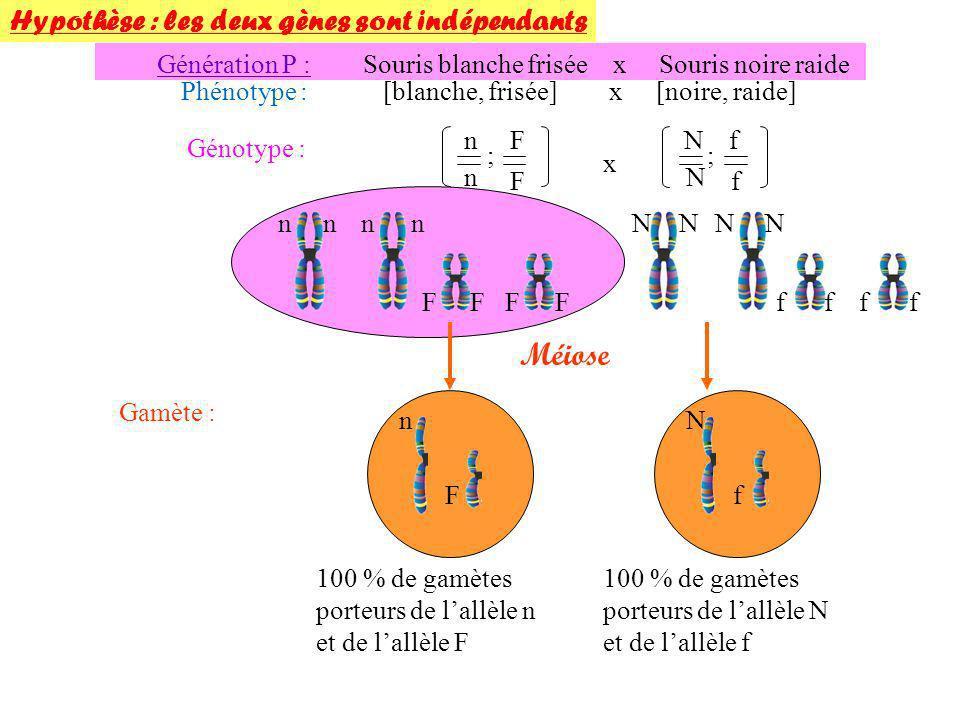 Souris F1 x Souris blanche raide Phénotype : [noire frisée] x [blanche raide] Génotype : n N F f n n f f x Méiose Gamète : 100% de gamète (n,f) Fécondation Une majorité de gamètes parentaux égales proportions porteurs de (n,F) ou de (N,f) Une minorité de gamètes recombinés en égales proportions porteurs de (N,F) ou de (n,f) Hypothèse : les deux gènes sont liés Génération F2 : On a bien une majorité et en égales proportions (40 et 42) de ces phénotypes parentaux.